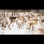 Aurora Borealis na Finlândia - Rovaniemi 7 dias/6 noites 10